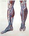 P. Mascagni, Anatomiae universae. 1823-32 Wellcome L0023973.jpg