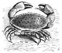 PSM V05 D204 Common crab of europe.jpg