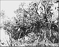 PSM V86 D047 Fern and seed plants growing 40 feet above ground on a tree limb.jpg