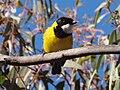 Pachycephala pectoralis -Mulligans Flat Nature Reserve, Canberra, Australia -male-8.jpg