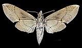 Pachylia ficus MHNT CUT 2010 0 46 Espírito Santo (Rio Grande do Norte) Brasil female ventral.jpg