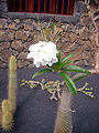 Pachypodium lamerei 3.jpg