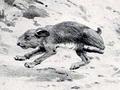 Pachyrukhos moyani.png
