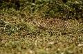 Paddyfield Pipit Vellode Bird Sanctuary JEG6646.jpg