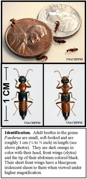 Paederus - Paederus rove beetles, showing size