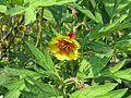Paeonia delavayi - maybe trolloides or a hybrid - Flickr - peganum.jpg