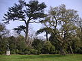 Painshill Park 002 Cork Oak and Cedars.JPG