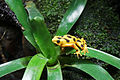 Panamanian golden frog 01 2012 BWI 00395.JPG