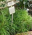 Panicum maximum-Jardin botanique de Berlin (1).jpg