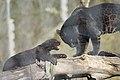 Panthera onca zoo Salzburg 2009 12.jpg