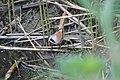 Panurus biarmicus.jpg