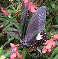 Papilio helenus.jpg