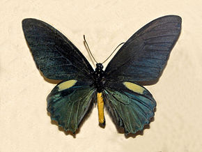 Description de l'image Papilionidae - Battus belus.JPG.