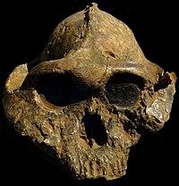 Paranthropus - Wikiped...