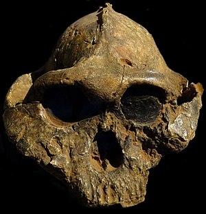 Paranthropus boisei - Photograph of KNM ER 406, a male specimen.