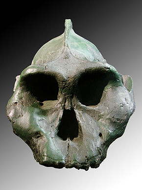 Description de l'image  Paranthropus aethiopicus face (University of Zurich).JPG.