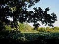 Parco del Loto, alberi e fiori di loto.JPG
