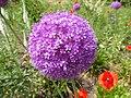 Parco di Levico - Allium giganteum.jpg