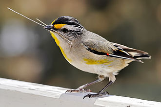 Meliphagoidea - Eastern striated pardalote, Pardalotus striatus ornatus. Their molecular and morphological plesiomorphy has long misled researchers about the pardalotes' affiliations.