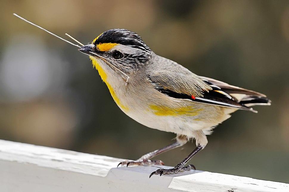 Pardalotus with nesting material