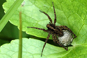 Pardosa.amentata.female.with.egg.sac.jpg