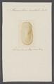 Parmophorus australis - - Print - Iconographia Zoologica - Special Collections University of Amsterdam - UBAINV0274 081 11 0003.tif