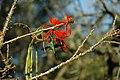Parque Est Intervales - beija flor Thalurania glaucopis.jpg