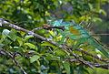 Parson's Chameleon (Calumma parsonii) just got a grasshopper (9646792451).jpg