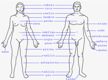 English: Human body external parts Español: Pa...