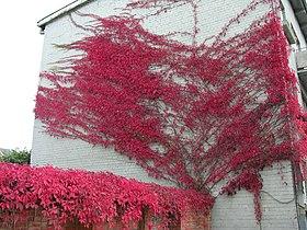 Parthenocissus quinquefolia.jpg