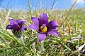 Pasque Flowers (Pulsatilla vulgaris) (17022027180).jpg
