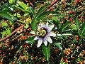 Passiflora caerulea flower.jpg