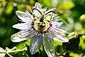 Passionfruit flower04.jpg