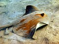Pastinachus sephen2.jpg