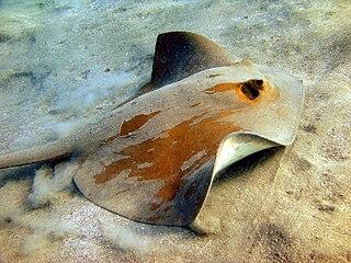 Cowtail stingray Species of cartilaginous fish
