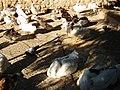 Patos del Parque Genovés de Cádiz.JPG