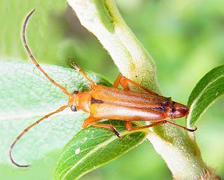 <i>Pedostrangalia</i> Genus of beetles