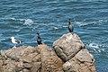 Pelagic Cormorant with Western Gull, Chimney Rock, Pt Reyes, Marin, CA 2019-03-11 13-30-46 (48265111357).jpg