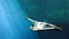 Pelagic stingray fukushima.jpg