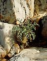 Pelargonium crithmifolium00.jpg