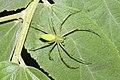 Peucetia viridana7017.jpg