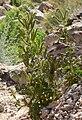 Phacelia anelsonii 4.jpg