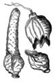 Phalle hollandique séparé en trois Duret 1605.png