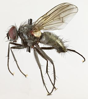 <i>Phaonia halterata</i> species of insect
