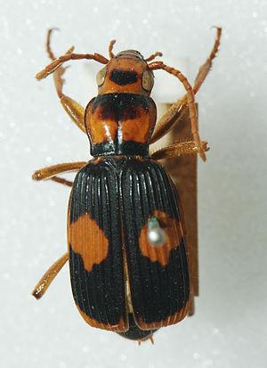 Australian Bombardier Beetle (Pheropsophus ver...