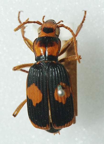 This beetle is named for its unique method of defense.