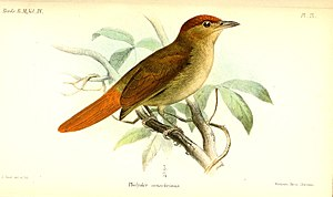 Chestnut-crowned foliage-gleaner - Illustration by Joseph Smit, 1890