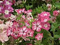 Phlox from Lalbagh flower show Aug 2013 8412.JPG