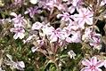 Phlox subulata Candy Stripes 1zz.jpg