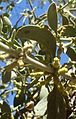 Phoradendron leucarpum ssp tomentosum kz4.jpg